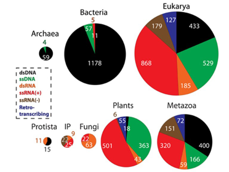 Pie-charts show the abundance of double-stranded DNA (dsDNA), single-stranded DNA (ssDNA), dsRNA, ssRNA(+) and ssRNA(−), where + and – refer to the orientation of the strand relative to coding DNA, and retrotranscribing viruses in Archaea, Bacteria, and Eukarya, and within the major eukaryal divisions. Corresponds to Figure 1(A) in Nasir et al. (2014).