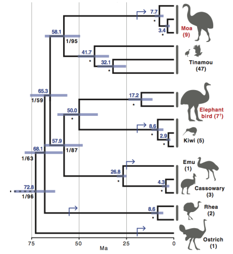 Figure 1. Palaeognathae phylogeny as proposed by Mitchell et al. (2014).  This tree was constructed using mtDNA.  Branch support is given by Bayesian posterior probabilities and maximum likelihood bootstraps, with branches given maximum support are starred (*).