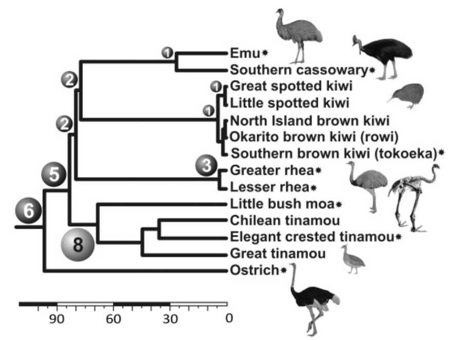 Figure 2. Palaeognathae phylogeny as presented in Baker et al. (2014).  This tree was created using 27 nuclear genes and 21 retroelements in Haddrath & Baker (2012) and has had 8 retroelement insertions mapped to it to indicate further support for the moa-tinamou clade.