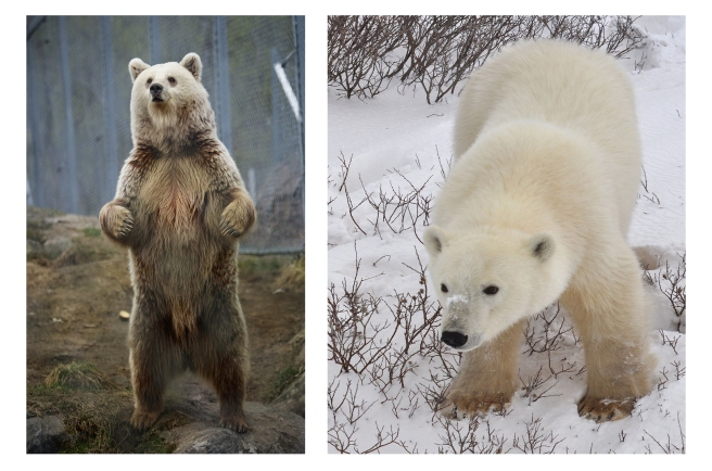 How long ago did the polar bear diverge from the brown bear lineage? And what, besides the color of their fur, has changed? (Brown bear By Taral Jansen/Soldatnytt and Polar bear photo by By Teresa from México, both via Wikimedia Commons)
