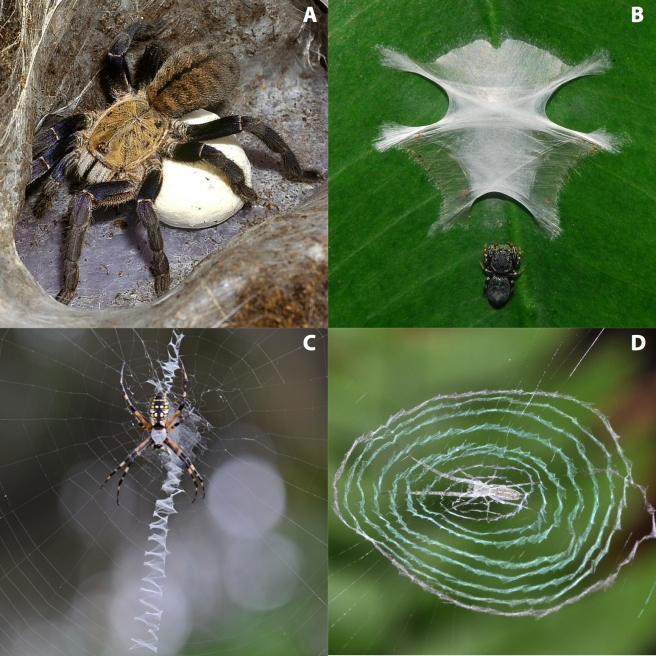 Figure 1. Spider representatives from different groups. (A) Tarantula Haplopelma lividum (Mygalomorphae) with eggsac (West 2014, with permission). (B) Jumping spider (RTA group) (Anker 2010, with permission) (C) Typical orb weaver Argiope sp. (Araneoidea) (Gallice 2012 Wikimedia). (D) Hackled orb weaver (Deinopoidea) (Anker 2011, with permission).