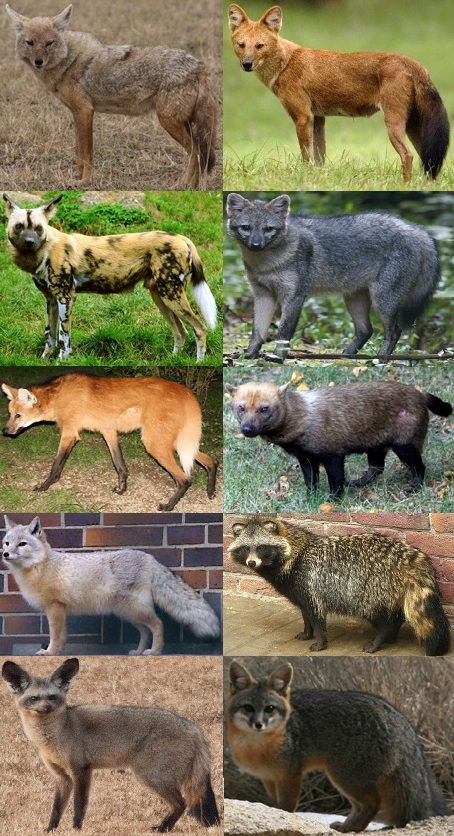 Major extant canid genera left-to-right, top-to-bottom: Canis, Cuon, Lycaon, Cerdocyon, Chrysocyon, Speothos, Vulpes, Nyctereutes, Otocyon and Urocyon. (Image by Profberger via Wikipedia)