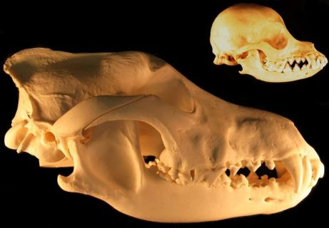 Figure 1. The bottom skull is from a wolf, Canis lupis, and the top skull is from a Chihuahua. The Chihuahua skull has been drastically transformed by artificial selection. (Image by Mccabe via Wikimedia.)
