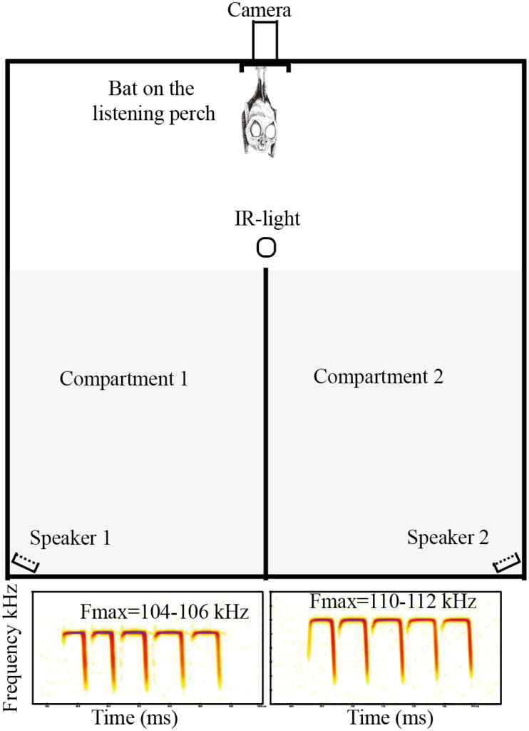 The experimental setup of the mate choice trials. The authors randomized the call assigned to each speaker, and recorded which compartment the bat flew into for every trial. Adapted from Figure 1, Puechmaille et al. (2014).