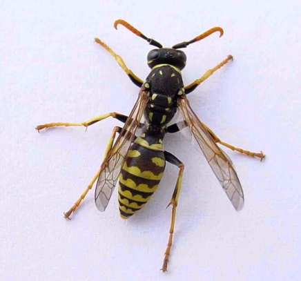 Male Polistes dominulus wasp