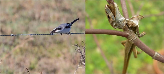 Loggerhead shrike and prey