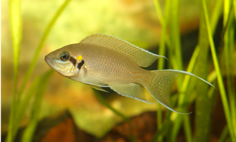 https://commons.wikimedia.org/w/index.php?search=Neolamprologus+brichardi&title=Special:Search&profile=default&fulltext=1&searchToken=b3xy9zpfel96b3jm84ukif0nd#/media/File:Neolamprologus_brichardi_young.jpg