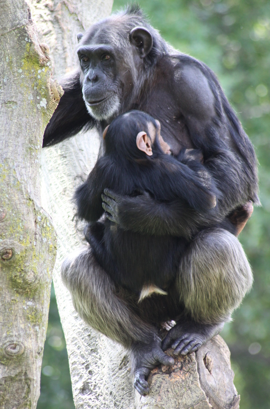 female_chimpanzee_with_baby_28330852271629